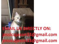 Siberian Hypoallergenic Kittens four available
