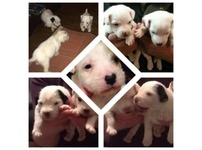 Russel puppies for sale