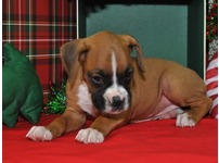Healthy Boxer puppies ready