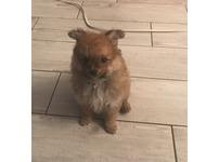 Pomeranian puppy female