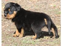 Big chunky active pedigree rottweiler puppies ** fluffy bundles