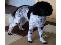 Toy Poodle stud PROVEN PRA Clear