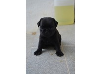 Lovely Pugs puppies available for Sale
