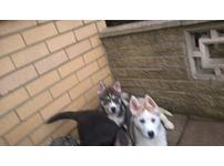 kc reg siberian husky puppies blue eyes ready to go now