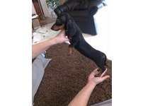 Dachshund Mini black and tan