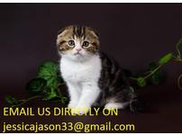 Pedigree Registered Show Class Scottish Folds