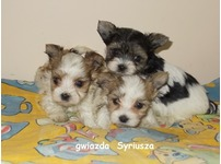 biewer yorkshire   terrier small puppeis exlusive super mini