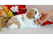 Exceptionally well marked boys and girls Cavalier King Charles Spaniels puppies
