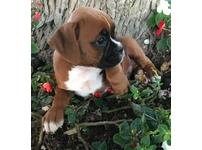 Claws-draws stunning 11 weeks old boxer puppies ready for their new for ever home with all their vet papers