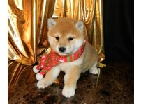 red Shiba Inu loving puppy