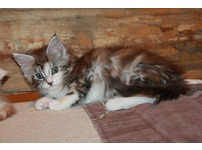 Georgeous Maine Coon kittens for adoption