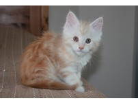 Cute male and female maine coon kittens for rehoming