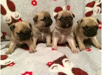 Show quality pug puppies