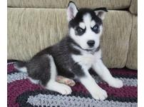 Stunning black and white 11 weeks old boys and bitches Siberain Husky puppies for sale with all their health papers