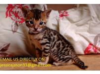Rosetted Bengal Kittens Ready April