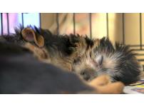 miniature/teacup yorkshire terrier puppies