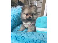 Pomeranian Puppies  Exotic Colours  Teacup and Toy