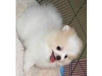 Gorgeous pure Pomeranian pups