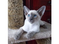 Siamese Kitten for Free
