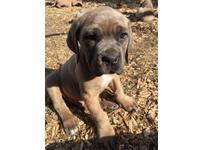 Cane corso puppies (Italian Mastiff)