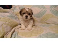 BEAUTIFUL SHIHCHON PUPPIES ( bichon x shih tzu )
