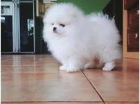 xxs Spectacular snow white Pomeranian babies