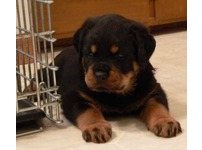 Cute and Beautiful Rottweiler Puppies