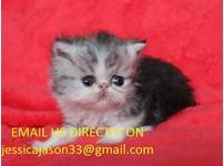 Persian Ultraface Kittens