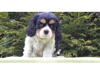 Cavalier King Charles Spaniel puppies - 4 left - ready now.