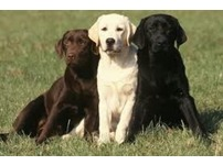 Re-home your Labrador/s safely online
