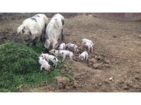 Pigslets PEDIGREE GOS Gloucestershire old spots piglets,pig,pigs,sow,boar