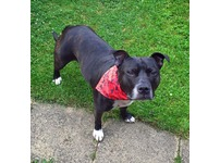 Beautiful black Staffordshire Bull Terrier Sammy needs a new home! (FREE)