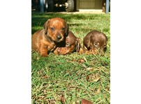 Miniature Dachsund Puppies for sale