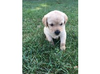 Working Labrador Pups