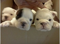 English bulldog puppies for another homes