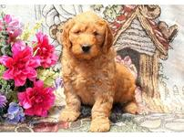 Goldendoodles cuties for you