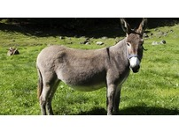 donkey free to give away
