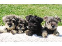 Standard Schnauzer pups