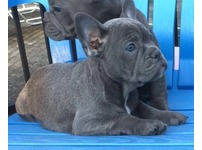 Frenchies Pups Brilliant Health Test Parent Males And Females Puppies Now Available