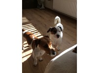 2 jack Russell's