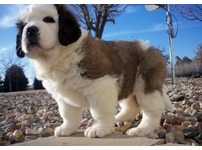 Gorgeous kc registered Saint Bernard Puppies For Sale