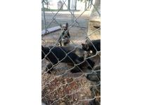 Exceptional Litter of Pure Breed German Shepherd Puppies.