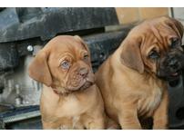 ! *ONLY 4 PUPS LEFT* Dogue de Bordeaux Pups, ready Now