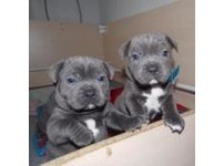 Two blue beautiful Staffordshire puppies left