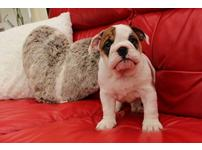 Lovable 2 3 Months Old English Bulldog Puppies