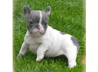 Short compact french bulldog puppies ready for their forever homes