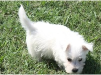 Four****Litter Of Fluffy Super Stunning White West Highland Terrier Puppies For Sale To A Pets Loving Home.