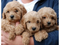 Fawn labradoodle puppies
