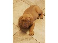 Outgoing Dogue De Bordeaux Puppys Available.