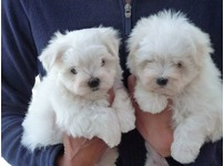 Lovely Maltese Pups Available